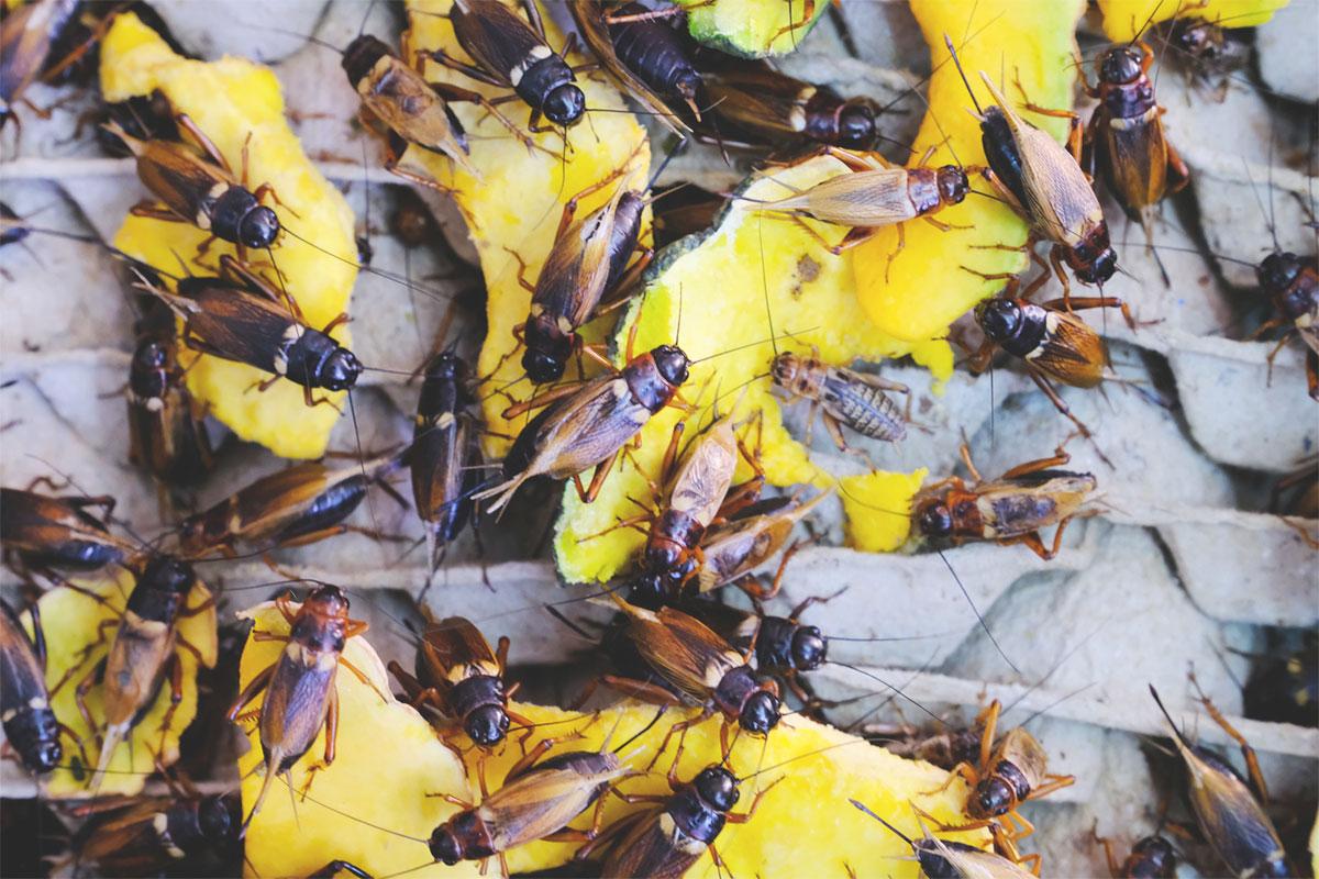 Tendance alimentaire et écoresponsable : les insectes.